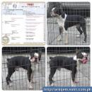 STUD SERVICE Boston Terrier Black Pug ShihTzu