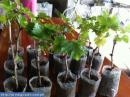 Grapes Cuttings Plant Seedlings